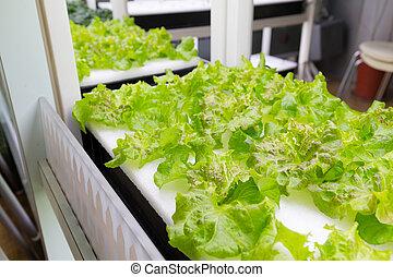 レタス, hydroponics