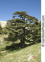 レバノン, ヒマラヤスギ