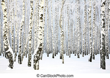 ロシア人, 木立ち, -, 冬, シラカバ