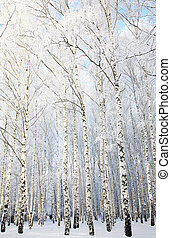 ロシア人, 木立ち, 冬, シラカバ