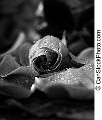 ローズ 花弁, 変えられる, 低いキー, 黒, モノクローム