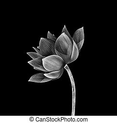 ロータス, バックグラウンド。, 花, 黒, 隔離された