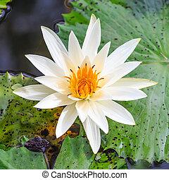 ロータス, 白い花, 黄色, 咲く