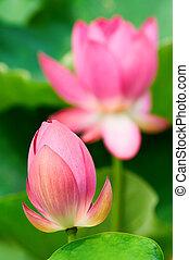 ロータス, 花