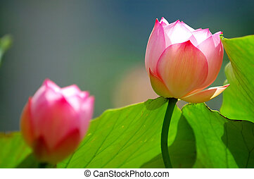 ロータス, 花, 下に, 太陽ライト