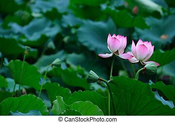 ロータス, 花, 2