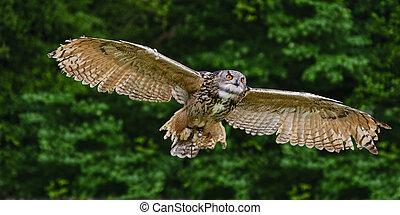 ワシ, 気絶, ヨーロッパ, 飛行, フクロウ