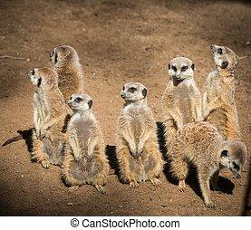 一族, の, 美しい, meerkats