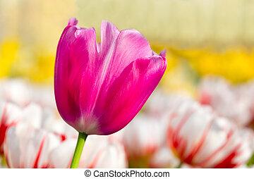 一, 紫丁香, 粉紅色, 郁金香, 在, 花, 領域, 由于, 鬱金香