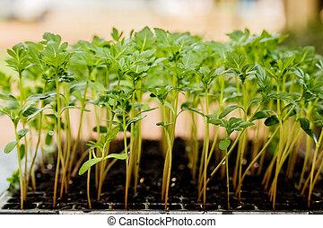 万壽菊, 秧苗, 增長, 在, 塑料, 秧苗碟子