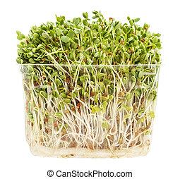 三葉草, 小蘿卜, 新芽