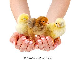 三, 新生, 小雞, 站立, 在, 人的手
