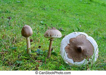 三, 樣品, ......的, 苗條, 陽傘蘑菇
