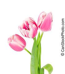 三, 粉紅色, 鬱金香, 被隔离, 在懷特上, 背景