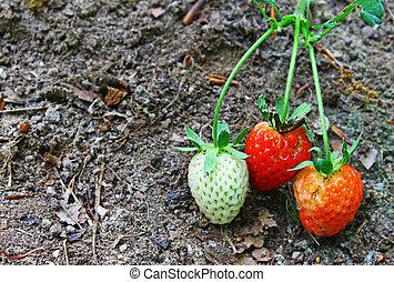 三, 草莓, 生長, 外面, 顯示, the, 不同, 階段, ......的, 成長, 由于, 房間, 為, 你, 正文