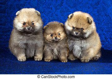 三, pomeranian, 小狗, 年齡, ......的, 1, 月, 在上方, 藍色的背景