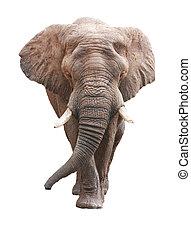 上に, アフリカ, 大きい, 象, 白い男性