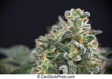 上に, インド大麻, strain), 隔離された, 黒, later, コーラ, (mangolope, 細部, 花