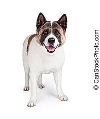 上に, 秋田, 隔離された, 地位, 白い背景, 犬