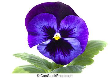 上に, 青, 隔離された, パンジー, 紫色, 白