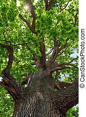 下に, 木, オーク, 見られた, 大きい