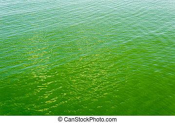 世界的である, 緑, cyanobacterias., 海, warming.