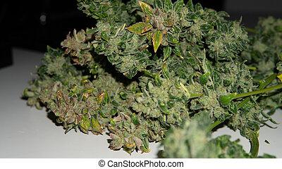 世界, レクリエーションである, 人気が高い, インド大麻, strains, 収穫する, 使用, marijuana.