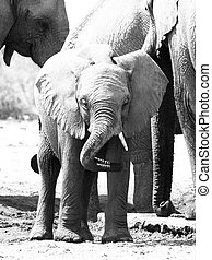 中央, 群れ, 国民, 象, アフリカ, 若い, 遊び, 公園, トランク, 赤ん坊, ∥そ∥, ナミビア, etosha