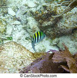 主要的軍士, fish, 在, 偉大, mayan, 礁石