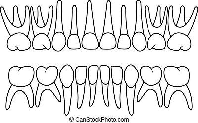 乳歯, dentition