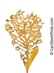 乾きなさい, 葉, ∥で∥, 穴, 食べられた, によって, 害虫, 隔離された, 白, 背景, クリッピング道