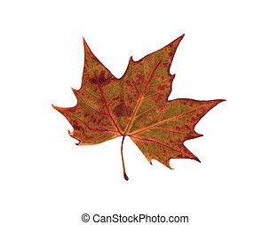 乾きなさい, 葉, 木, オーク, 秋, 赤