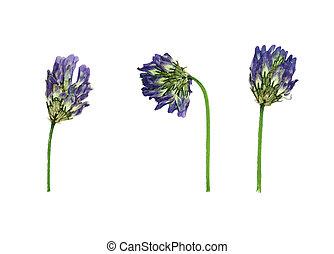 乾燥された 花, 押された, dasyanthus, astragalus