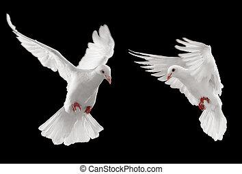 二, 鴿子