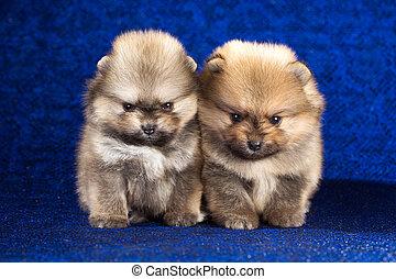二, pomeranian, 小狗, 年齡, ......的, 1, 月, 在上方, 藍色的背景