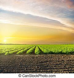 云霧, 在上方, 領域, 綠色, 橙, 傍晚, 農業, 番茄