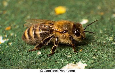 人物面部影像逼真, 相片, ......的, 蜜蜂, 在, 蜜蜂, 殖民地