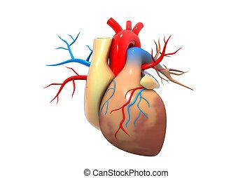 人的 心臟