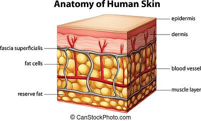 人的 皮膚, 解剖學