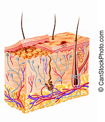 人的 皮膚, 部分, 圖形