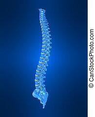 人的 脊椎