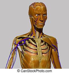 人間の解剖学, ∥で∥, 筋肉