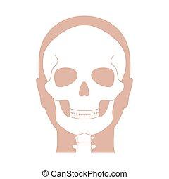 人間の解剖学, 頭骨