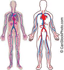 人間の静脈, 中に, ベクトル