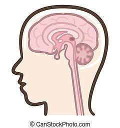 人間の頭脳, セクション, 中央