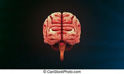 人間の頭脳, 正面図