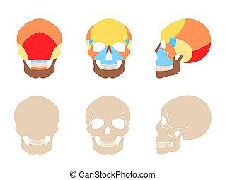 人間の頭骨, 解剖学
