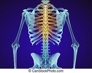 人間の 骨組, そして, spine., x 線, ビュー。, medically, 正確, 3d, イラスト