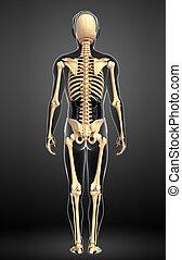 人間の 骨組, ビューを支持しなさい