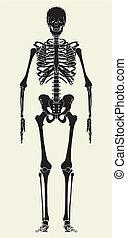 人間の 骨組
